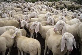 A LETTER TO THE ITALIAN SHEEPS